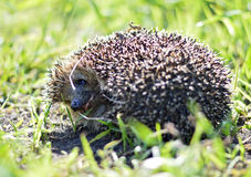 Forest hedgehog in the grass Stock Photo