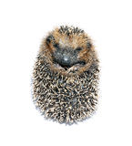 Forest hedgehog lying Royalty Free Stock Photo