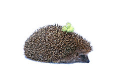 Forest hedgehog with nuts on the back isolated Royalty Free Stock Image