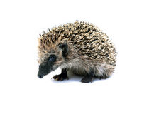 Forest hedgehog sitting isolated Royalty Free Stock Images