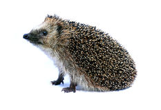 Forest hedgehog sitting Royalty Free Stock Photography