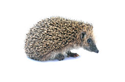 Forest hedgehog sitting isolated Stock Photography