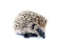 Forest hedgehog sitting  Stock Photography
