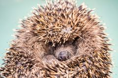 Hedgehog twisted into a ball royalty free stock image
