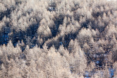 Forest. A high contrast coniferous forest in winter royalty free stock photo