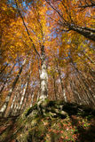 Forest with high trees in Tuscany Royalty Free Stock Photography