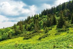 Forest on hill in summer mountain landscape. Beautiful scenery on a sunny day with cloudy sky. wonderful nature background. explore carpathians concept stock photography