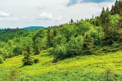 Forest on hill in summer mountain landscape. Beautiful scenery on a sunny day with cloudy sky. wonderful nature background. explore carpathians concept stock image