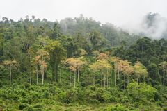 Forest hill with yellow tree among green tree with low clouds in Tay Nguyen, central highlands of Vietnam.  royalty free stock photos