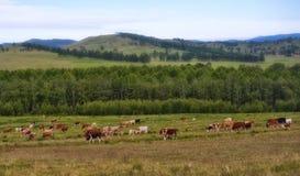 Forest&hills,母牛牧群,夏令时在西伯利亚,俄罗斯 库存照片