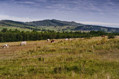 Forest&hills,母牛牧群,夏令时在西伯利亚,俄罗斯 免版税库存照片