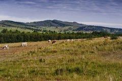 Forest&hills, een kudde van koeien, zomer in Siberië, Rusland Royalty-vrije Stock Foto's