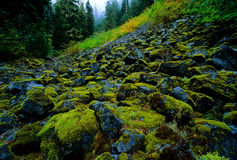 Forest Hillside. Steep Hillside in Mt. Rainer National Forest royalty free stock photos