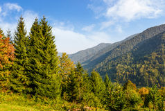 Forest on the hillside in Carpathian mountains Royalty Free Stock Photo