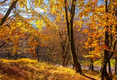 Forest on the hillside in orange foliage. Lovely nature scenery on a bright day in Carpathian mountains stock photos