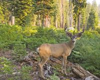 Forest Home. Mule deer with forest as background Royalty Free Stock Photos