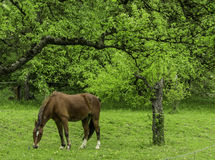 Forest Horse Imagen de archivo libre de regalías
