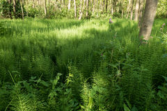 Forest with Horsetail. Royalty Free Stock Photos