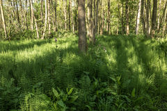 Forest with Horsetail. Stock Photography