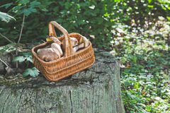 Forest idyll. Basket with mushrooms on a beautiful tree stump. Royalty Free Stock Image
