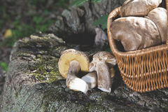 Forest idyll. Basket with mushrooms on a beautiful tree stump. Stock Photos