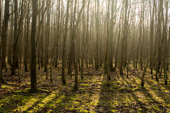 Forest. A forest illuminated by the sun Stock Photos