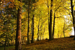 Free Forest In Fall Royalty Free Stock Image - 16751856