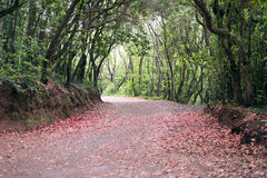 Forest on the island of Tenerife, nature and hiking Royalty Free Stock Image