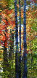 The Forest in its Fall Colors Royalty Free Stock Photo