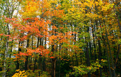 The Forest in its Fall Colors  Royalty Free Stock Photos