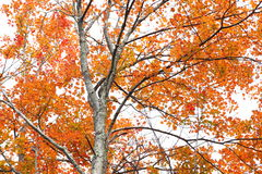 The Forest in its Fall Colors  Stock Photos