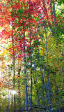 The Forest in its Fall Colors with sunburst Stock Images