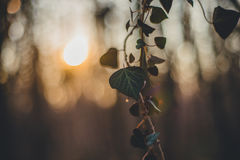 Forest with ivy. Sunset silhouette. Royalty Free Stock Photos