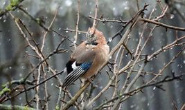 Forest jay in late autumn. Rain and sleet. Bad weather. 