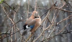 Forest jay in late autumn. Rain and sleet. Bad weather. Royalty Free Stock Photos