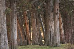 A Forest of Junipers Stock Photo