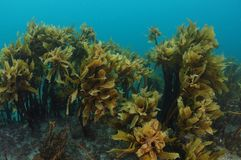 Forest of kelp Ecklonia radiata. Forest of brown seaweeds Ecklonia radiata growing on flat rocky reef hiding some colorful encrusting  invertebrates stock photography