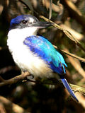 Forest Kingfisher Royalty Free Stock Photography