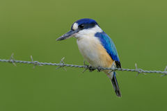 Forest kingfisher in Cairns Australia Stock Photo
