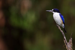 Forest kingfisher, Kakadu, Australia Royalty Free Stock Photos