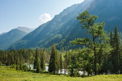 Forest at Kucherla. Trekking in the Altai Mountains Royalty Free Stock Photography