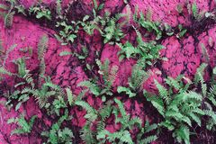 Forest Lady Fern. Grown on pink wall royalty free stock photography