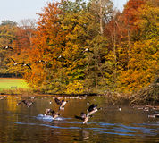 Forest lake in the autumn. Migratory birds. Autumn landscape stock photos