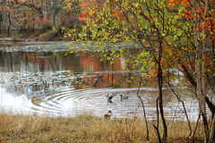 Forest lake in autumn. Forest lake with a rocky shore, reflection in the water and ducks floating on the water Royalty Free Stock Photo