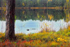 Forest Lake. A beautiful calm lake in the autumn forest stock images