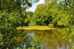 Forest Lake, covered with duckweed plants.  stock images