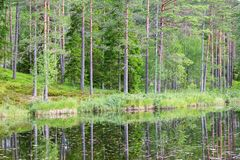 Forest lake with pine trees Stock Photography