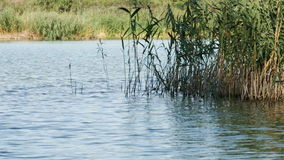 Forest lake scene, ripples on water, common reeds (Phragmites australis) waving by wind. Summer. No person. stock video