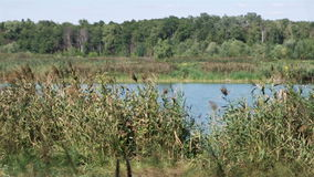 Forest lake scene, wind blows trees and common reeds (Phragmites australis). Summer day, clear sky. No person. stock video footage
