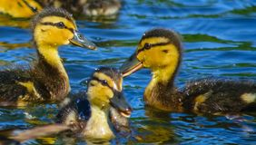 Little ducklings on blue water. Forest lake, the water birds swim Mallard ducks in search of food Stock Image